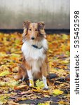 Sable Rough Collie Dog Sitting...