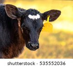 black and white crossbred angus ... | Shutterstock . vector #535552036