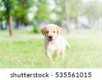 Stock photo dog in field labrador retriever puppy in field 535561015
