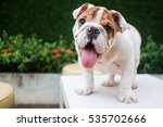 Funny English Bulldog Playing...