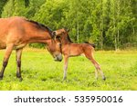 Mare And Foal. Mother Love Of...