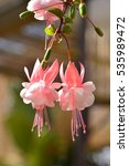 garden of colorful fuchsia... | Shutterstock . vector #535989472