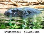 Hippopotamus With Its Baby...