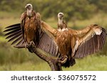 Youngs Griffons Vultures. Gyps...