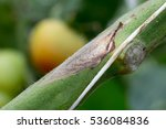 botrytis gray mold of... | Shutterstock . vector #536084836