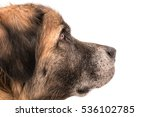 Stock photo german bear dog 536102785