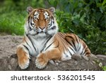 Stock photo siberian tiger panthera tigris altaica also known as the amur tiger 536201545