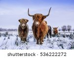 Red Brown Scottish Highlanders...