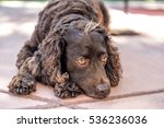 Small photo of American Water Spaniel resting.