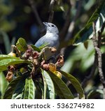 Small photo of Tangara sayaca, Tangara sayaca, bird of the Thraupidae family very common in the Atlantic Rainforest with occurrence of Bolivia to Argentina - Sao Paulo, SP, Brazil - August 7, 2011