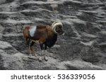 bighorn sheep | Shutterstock . vector #536339056
