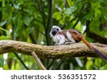 Cotton Top Tamarin On The...
