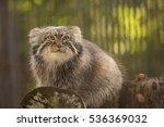 Pallas Cat  Sitting On A Tree