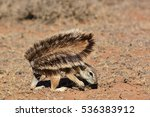Cape Ground Squirrell