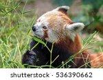 Red Panda Feeding On Bamboo Leaf