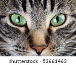 a macro shot of a young tabby... | Shutterstock . vector #53661463