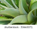Cactus  Cactaceae