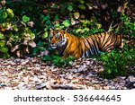 scary eyes of royal bengal... | Shutterstock . vector #536644645