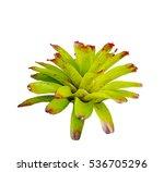 isolated bromeliad neoregelia...   Shutterstock . vector #536705296