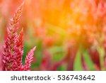 Pink Cockscomb Flower Garden