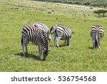 Four Wild  Zebra Grazing On...