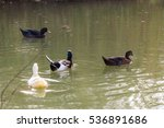 Group Of Beautiful Four Ducks...
