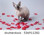sphinx cat posing with a pile... | Shutterstock . vector #536911282