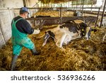 farmer helps a cow give birth... | Shutterstock . vector #536936266