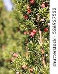 berry bush   Shutterstock . vector #536937532