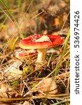 Small photo of Amanita muscaria, poisonous mushrooms