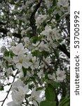 white apple blossom spring... | Shutterstock . vector #537005992