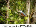sitting ringed kingfisher  bird ... | Shutterstock . vector #537064066