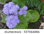 Small photo of Ageratum houstonianum. Ageratum Mexican. Ageratum houstonianum. Garden. Flower. Close-up. Horizontal photo