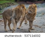 two brother lions fighting in...   Shutterstock . vector #537116032