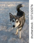 Small photo of Puppy of alaskan malamute on a training ground in winter.