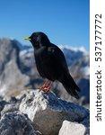 Small photo of Black mountain bird (Pyrrhocorax graculus, alpine chough) side profile
