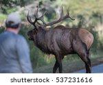 Tourist Looks On As Elk Crosse...