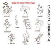 anxiety treatment herbs... | Shutterstock .eps vector #537243478