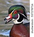 Small photo of Wood duck (Aix sponsa) calls while swimming
