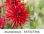 red garden dahlia flower on... | Shutterstock . vector #537327346