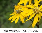 bumblebee on yellow garden... | Shutterstock . vector #537327796
