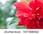 Red Hibiscus Flowers Blooming...