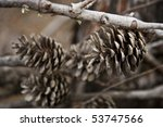 pinus sylvestris | Shutterstock . vector #53747566