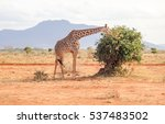 giraffe in african savannah in... | Shutterstock . vector #537483502