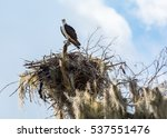 Osprey Guarding Nest