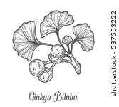 ginkgo biloba plant  leaf ... | Shutterstock . vector #537553222