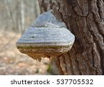 fomes fomentarius  commonly... | Shutterstock . vector #537705532
