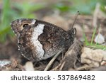 Small photo of Rock Grayling (Hipparchia alcyone) perfectly camouflaged in its surroundings.