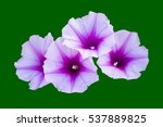 Ipomoea  Or Beach Morning Glor...