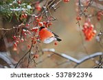 bullfinch on apple tree branch... | Shutterstock . vector #537892396